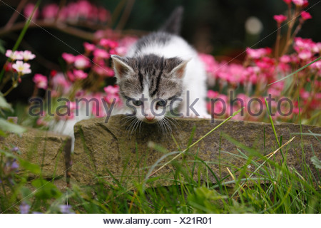 domestic cat, house cat, European Shorthair (Felis silvestris f. catus), 4 weeks old kitten climbing over boundary stone at a f - Stock Photo