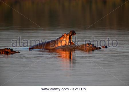 Hippopotamus in Lake Masek - Stock Photo