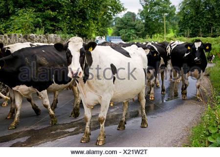 Republic of Ireland, Kilkenny, Kells, cattle on country road - Stock Photo