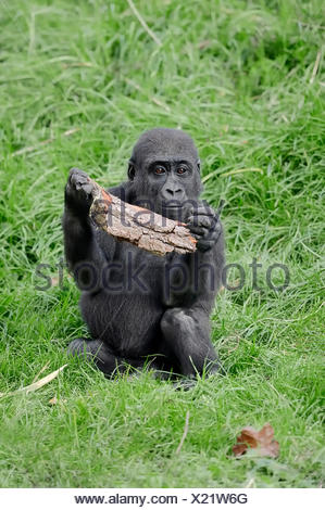 Western Lowland Gorilla (Gorilla gorilla gorilla), young, native to Africa, captive, Germany - Stock Photo