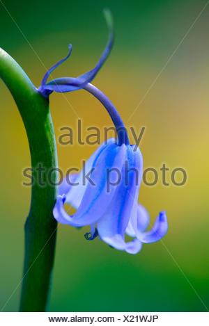 Atlantisches Hasengloeckchen / ( Hyacintoides non-sripta, Scilla non-scrita) - Stock Photo