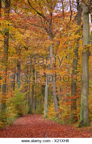 common beech (Fagus sylvatica), path through a beech forest in autumn, Germany - Stock Photo