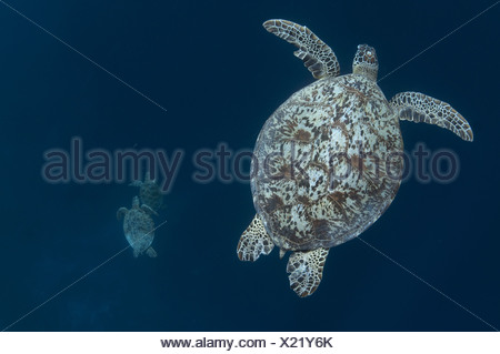 Green Turtle (Chelonia mydas) adult, swimming, with two other turtles swimming below, Sipadan Island, Sabah, Borneo, Malaysia - Stock Photo