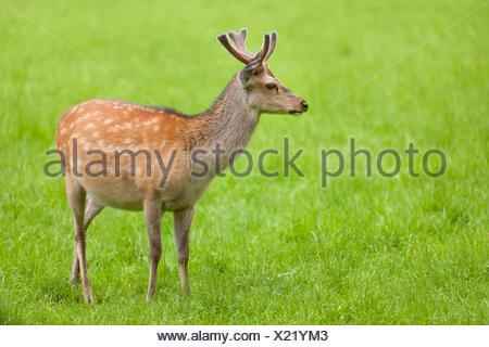 Sika Deer (Cervus nippon) stag with antlers in velvet, captive, Bavaria, Germany - Stock Photo