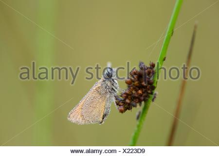 Small Skipper on a grass stalk - Stock Photo