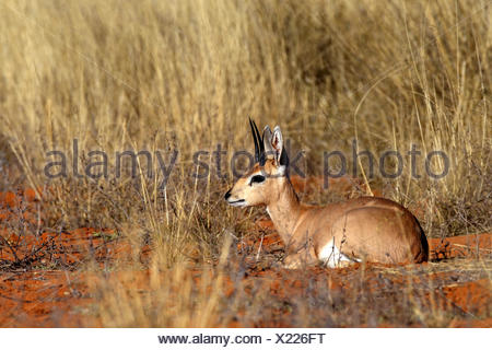 steenbok (Raphicerus campestris), male sitting on the sandy ground in the grassland, South Africa, Kgalagadi Transfrontier National Park - Stock Photo
