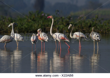Greater Flamingo (Phoenicopterus roseus) most widespread species of the flamingo family. It is found in parts of Africa, souther - Stock Photo