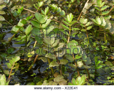 lesser water-parsnip, wild parsnip (Berula erecta), springshoot in a ditch - Stock Photo