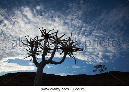 Quiver Tree (Aloe dichotoma), Augrabies Falls National Park, Northern Cape Province, South Africa - Stock Photo