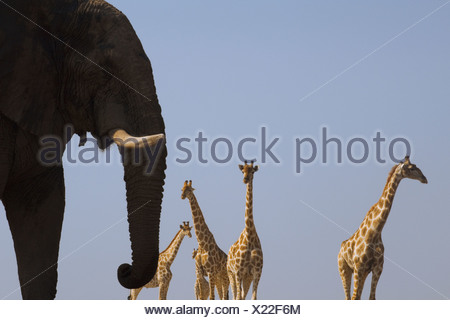 An elephant Loxodonta africana and four giraffes Giraffa camelopardalis in Etosha National Park Namibia - Stock Photo