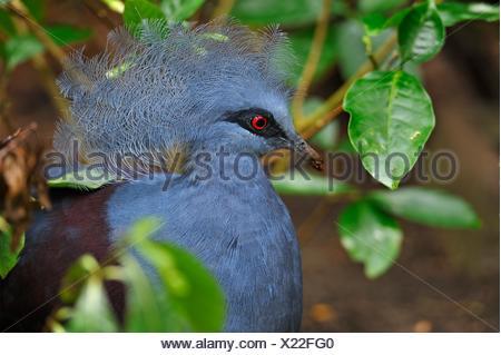 Victoria crowned pigeon (Goura victoria), Rainforest Pyramid, Moody Gardens, Galveston island, Gulf of Mexico, Texas, United States of America, North - Stock Photo