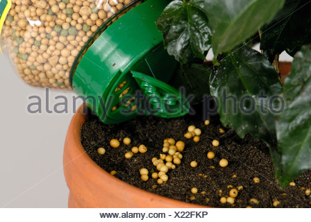 Slow release fertilizer granules being applied to soil of a potted house plant - Stock Photo