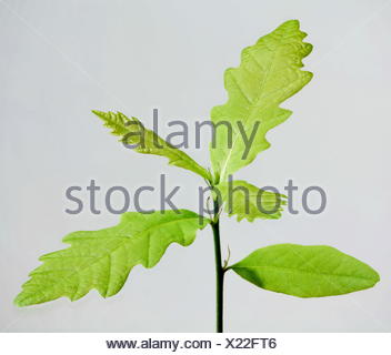 sprout oak from acorn - Stock Photo