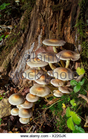Sulphur tuft, Nature park Swabian-Franconian Forest, Rems-Murr region, Baden-Wuerttemberg, Germany, (Hypholoma fasciculare) - Stock Photo