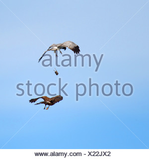 hen harrier (Circus cyaneus), pair, male gives prey to female during flight, Netherlands, Texel - Stock Photo