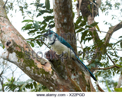 White-throated Magpie-Jay (Calocitta formosa), Arenal Volcano National Park, Guanacaste province, Costa Rica, Central America - Stock Photo