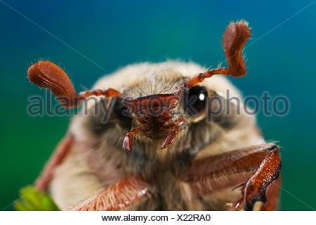Common Cockchafer / Maybug {Melolontha melolontha} portrait, UK - Stock Photo