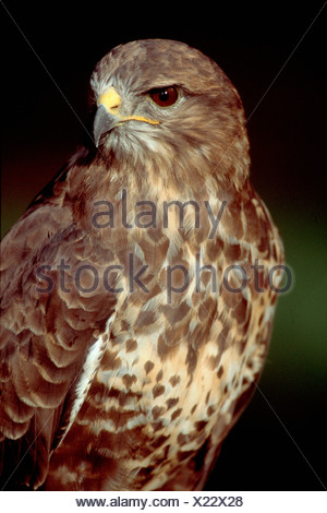 Common Buzzard / European Buzzard / Maeusebussard - Stock Photo