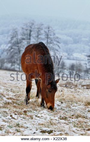 Andalusian Horse, paddock in wintertime - Stock Photo