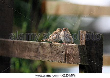 Pair of juvenile house sparrows (Passer domesticus) on a fence at Ballachulish. - Stock Photo