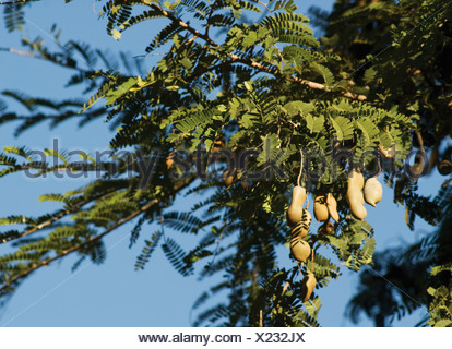 Tamarindus indica, Tamarind - Stock Photo