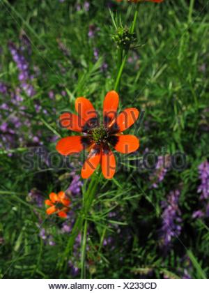 summer pheasant's-eye (Adonis aestivalis), blooming, Germany, Thueringen - Stock Photo