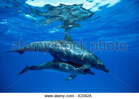 Atlantic spotted dolphin with calf (Stenella frontalis). Bahamas. - Stock Photo
