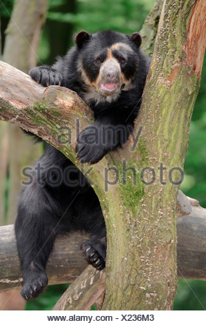 Spectacled or Andean Bear (Tremarctos ornatus), occurrence in South America, captive, Germany - Stock Photo