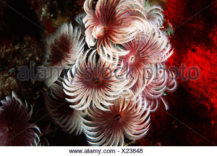 Close-up of Cluster of Small Feather Duster Worms (Bispira Brunnea); Bahamas - Stock Photo