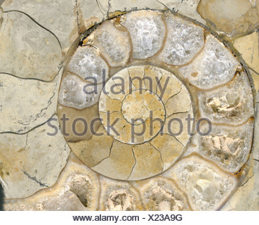 Circle shell fossil - Stock Photo