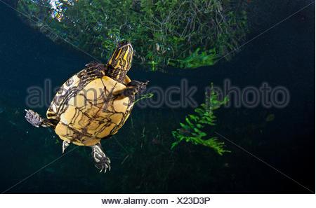 Mesoamerican slider turtle / terrapin (Trachemys scripta venusta) in sinkhole, Cenote Carwash, near Tulum, Yucatan Peninsula, Me - Stock Photo