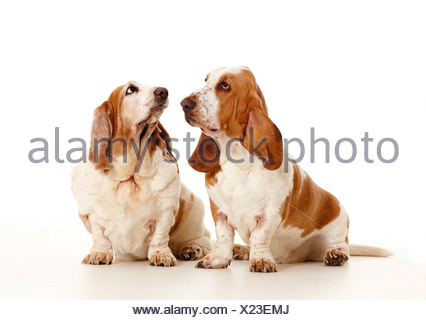 Basset Hound. Two adults sitting next to each other. Studio picture against a white background - Stock Photo