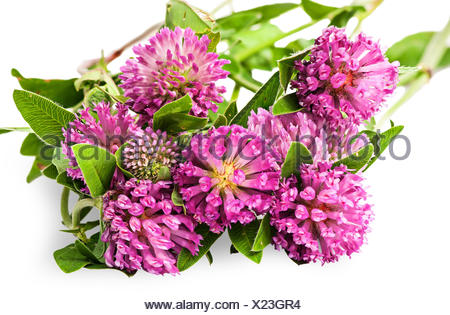 Closeup bouquet of clover flowers with green leaves - Stock Photo