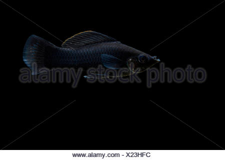 Molly, short-finned molly or common molly 'black' (Poecilia sphenops) on black background, native from central america (texas and mexico), captive from France - Stock Photo