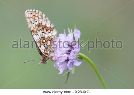 Heath Fritillary (Melitaea athalia), butterfly perched on a Field Scabiosa (Knautia arvensis), North Hesse, Hesse, Germany - Stock Photo