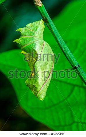 Common Birdwing Butterfly pupa, (Troides helena), Malaysia - Stock Photo