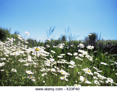 Daisies in a field - Stock Photo