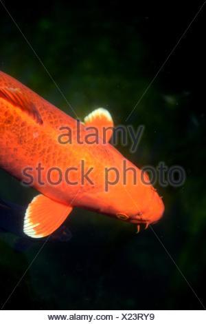 A close up shot of Koi Carp Fish. - Stock Photo