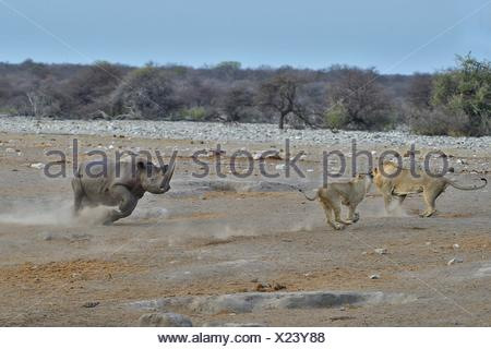 This Black Rhino has stumbled into a cavity and tipped into the water point. After many difficulties given the apic submerged - Stock Photo