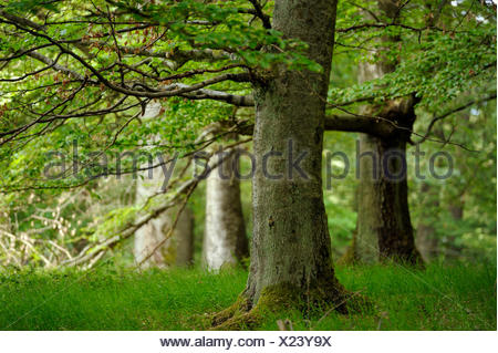 common beech (Fagus sylvatica), beech forest in the Kellerwald-Edersee National Park, Germany, Hesse, Nationalpark Kellerwald - Stock Photo