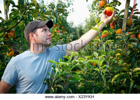 A Man Picks An Apple From Tree Nooksack Washington United States Of