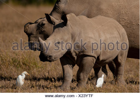 Southern White Rhino and baby in special rhino sancturay, Ol Pejeta Conservancy; Kenya - Stock Photo