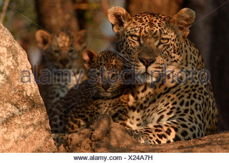 Leopard (Panthera pardus) mother with cubs, Londolozi Private Game Reserve, Sabi Sands Game Reserve, South Africa. - Stock Photo