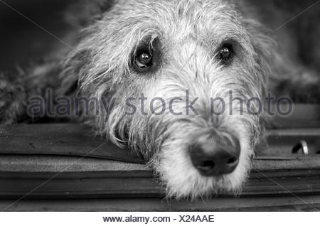 Portrait of Irish Wolfhound lying down - Stock Photo