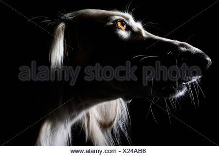 Saluki, portrait - Stock Photo