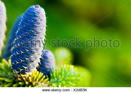 Caucasian fir tree cones close-up. - Stock Photo