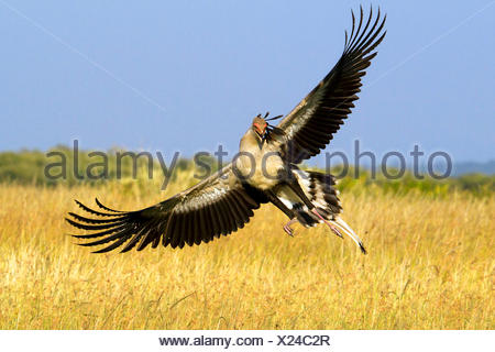 secretary bird, Sagittarius serpentarius (Sagittarius serpentarius), landing, Kenya, Masai Mara National Park - Stock Photo
