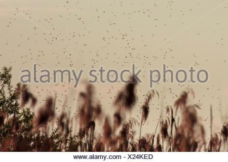 Gemeine Eintagsfliege, Braune Maifliege (Ephemera vulgata), Hochzeitsflug ueber Roehricht, Deutschland, Bayern, Chiemsee | Commo - Stock Photo
