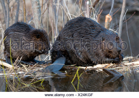 Adult and young beavers (Castor canadensis)  sitting at pond edge feeding on aspen tree branch, Ontario, Canada - Stock Photo