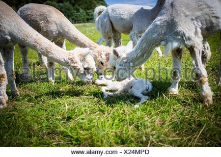Alpacas On Grassy Field - Stock Photo